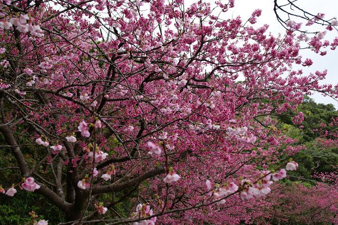 八重岳の桜1.jpg