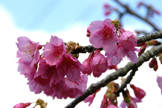 八重岳の桜2.jpg