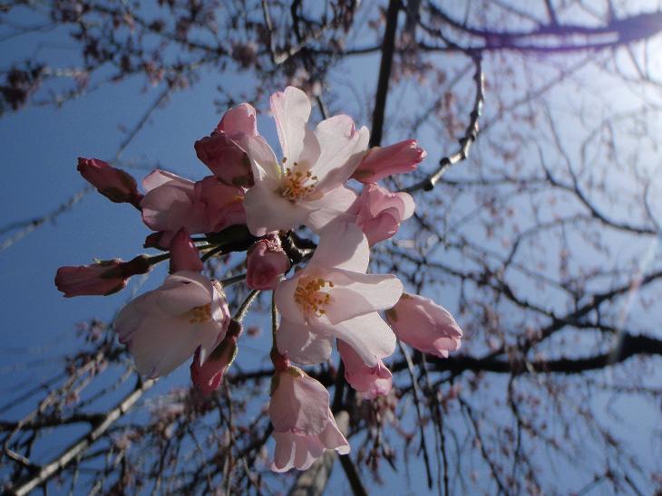 枝垂桜~.jpg