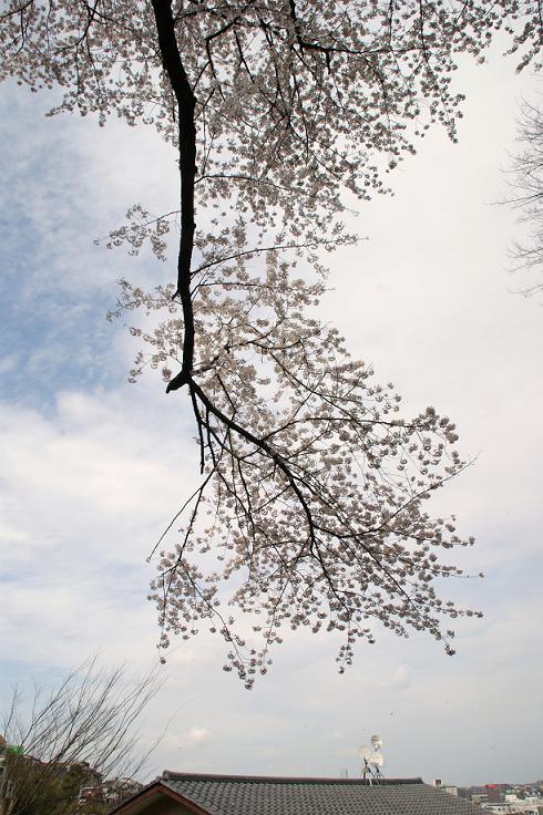 逆さ桜.jpg