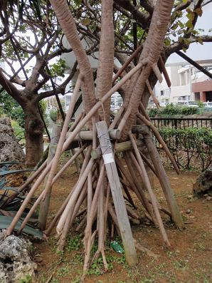 タコの木.jpg