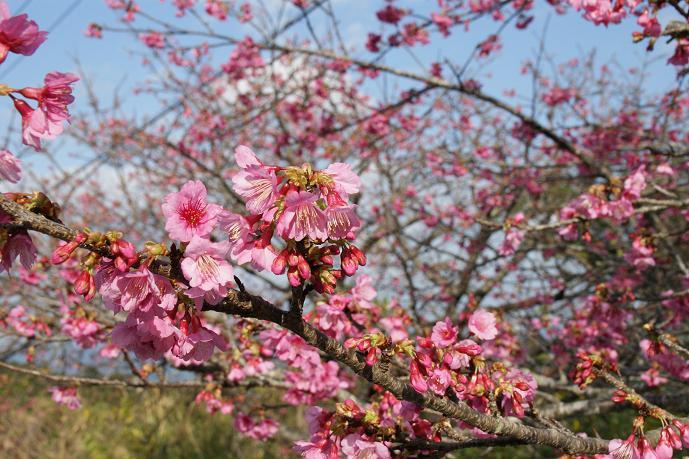 八重岳の桜3.jpg