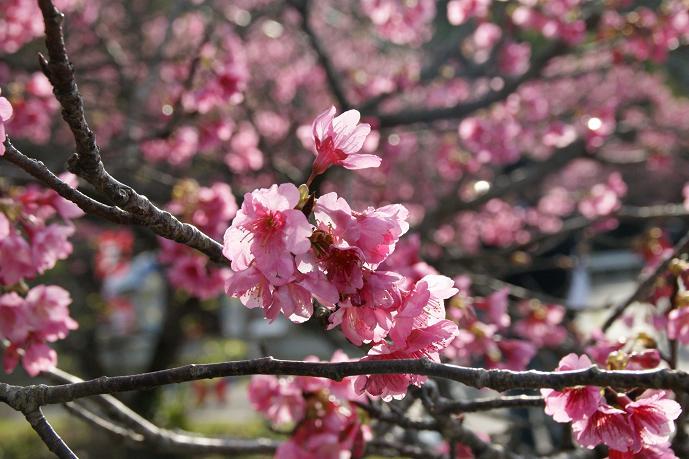 八重岳の桜4.jpg